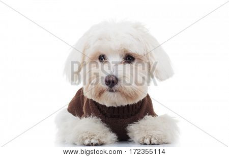 sad bichon puppy dog lying down on white background