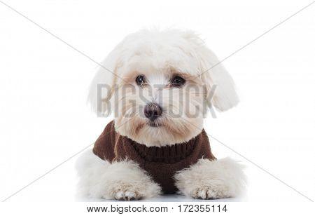 sad bichon puppy dog lying down on white background