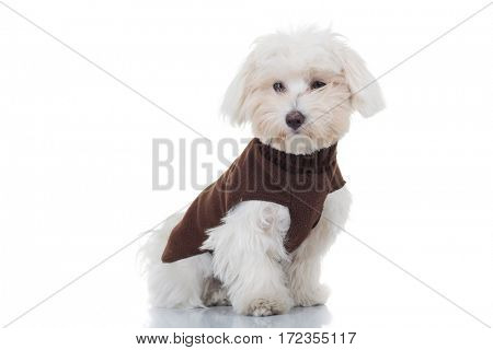 young bichon puppy sitting on white background, wearing brown clothes