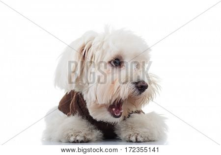 amazed bichon puppy dog looks to side with mouth open on white background