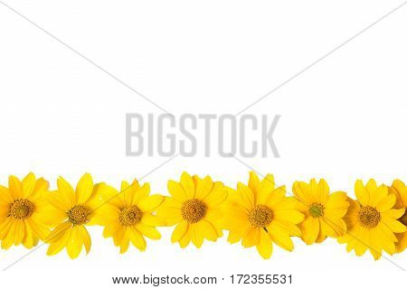 Many yellow flowers isolated on white background. Close-up photo of golden color summer flowers. Design solution. The space for the congratulatory text.
