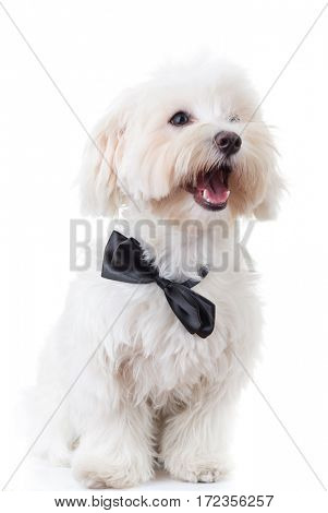 side view of a happy young bichon puppy , panting on white background