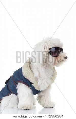 side view of a bichon puppy dog wearing clothes and sunglasses on white background