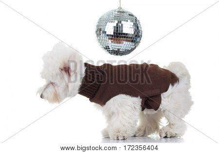 disco bichon puppy dancing on white background