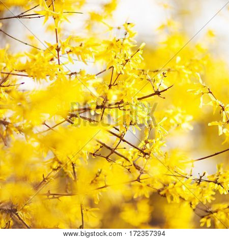 Spring beauty. Blooming yellow Flowers of trees on the sky background