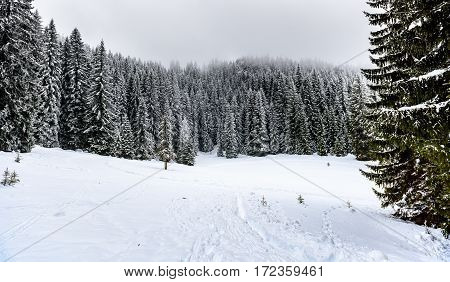 Snowy Winter Forest With Pine Or Spruce Trees Covered Snow.