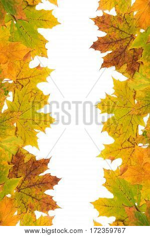 autumn maple leaves on a white background close-up. vertical photo.