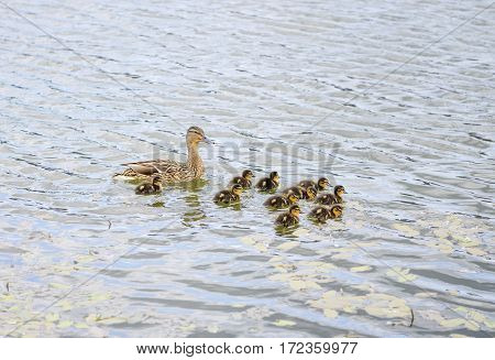Duck With Ducklings On Pond