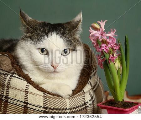 Siberian Caat In Catbed With Hyacinth Pink Flower