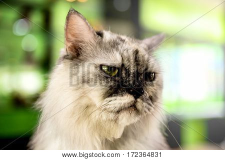Persian Cat, lovely animal and pet, portiat