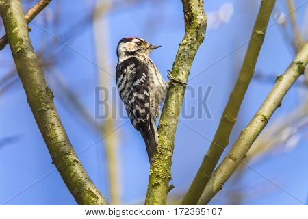 Lesser Pied Woodpecker (dryobates Minor)