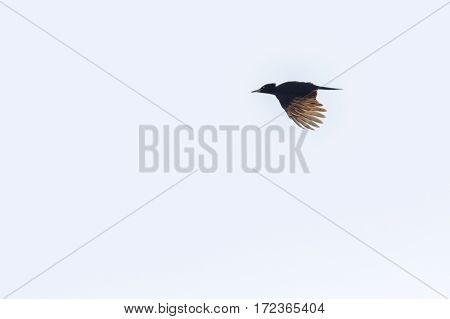 Black Woodpecker (dryocopus Martius)
