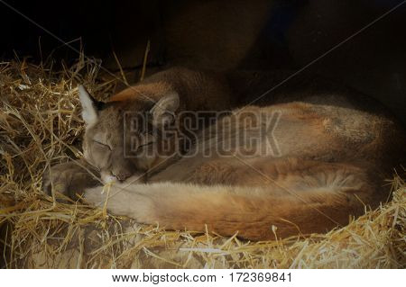 A close up of a sleeping puma