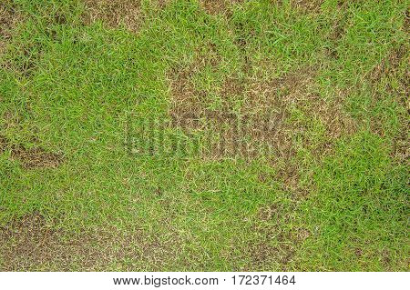 Pests and disease cause amount of damage to green lawns, lawn in bad condition and need maintaining