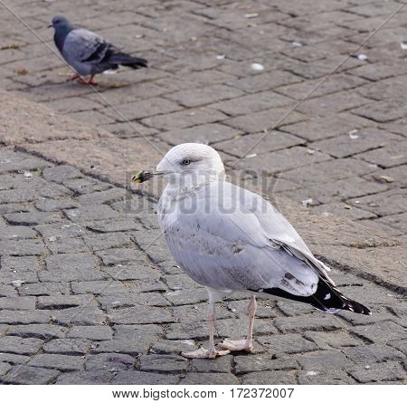 Huge Seagull Walking On Stone Square