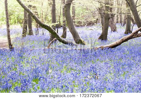 bluebells growing wild in springtime in the woods