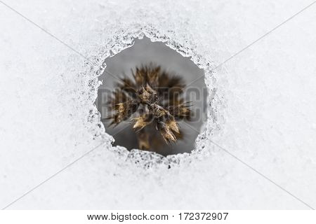 Flower Coming Out From Real Snow