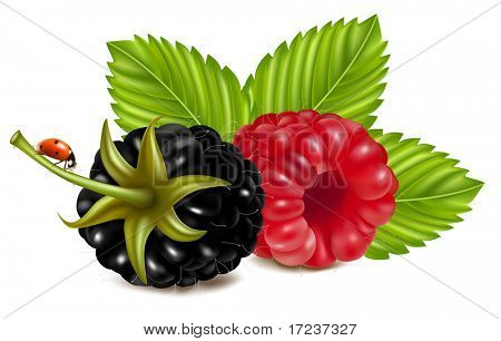 Vector illustration of ripe raspberries and blackberry (dewberry) with green leaves and ladybird.