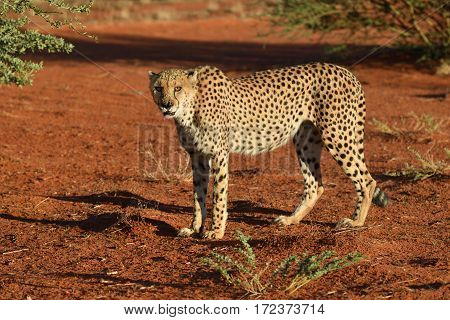 Wild Cheetah In the Kalahari desert at sunset. African Savannah Namibia