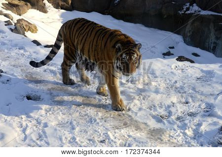 An adult male tiger walking in the snow