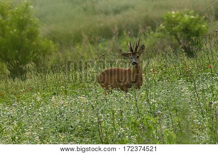 Roe deer stand upright flowering plants in early morning