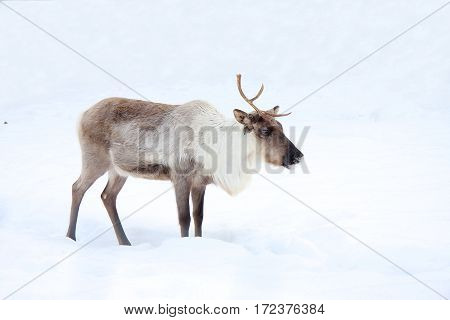 The reindeer costs on the white snow-covered field