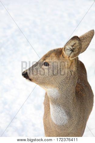 Portrait of a roedeer in the winter