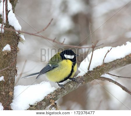 The titmouse sits on a snow-covered branch in the winter wood