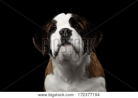 Close-up Portrait of Cute Saint Bernard Purebred Puppy Face on Isolated Black Background Front view