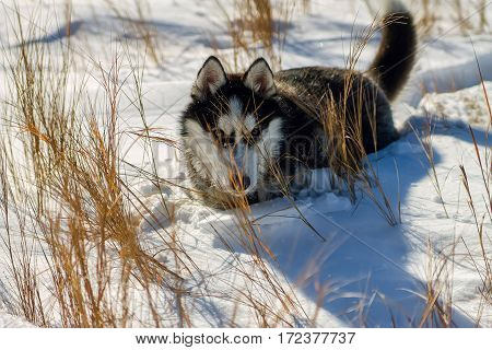 Husky Puppy In Snow Drifts And High Yellow Grass