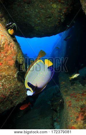 Emperor Angelfish. Tropical fish in underwater cave.