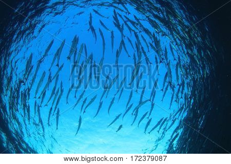 Barracuda fish school. Fish spiral