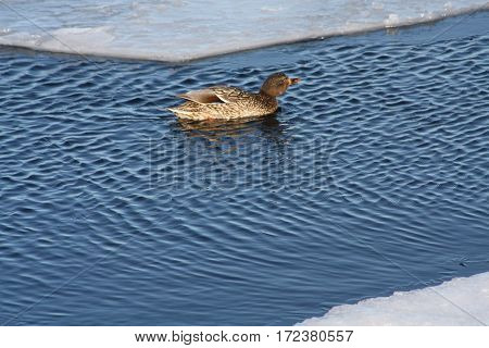 Mallard hen swimming in open water near a piece of melting ice.