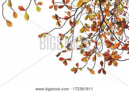 Terminalia Catappa Leaves Autumn Season On White Background., Bengal Almond, Indian Almond.