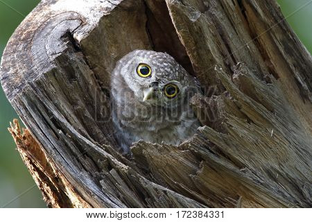Spotted owlet Athene brama Cute Bird in tree hollow