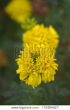 yellow flower dandelion blossom in the garden