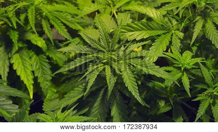 INDOOR MEDICAL MARIHUANA GROW BACKGROUND HOME PLANT CANNABIS TEXTURE
