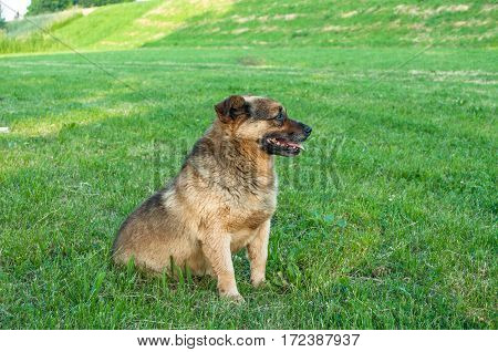 Brown friendly puppy on green grass at summer day showing tongue
