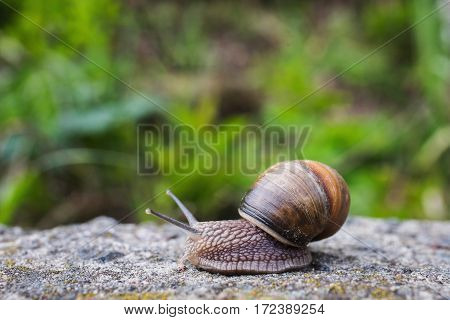 Snail slides on a wooden surface. Animal. Invertebrates crawling. Shellfish Gastropoda. The symbol of eternity and fertility in Egypt. Gastropod mollusk with a spiral shell. Spiral sink