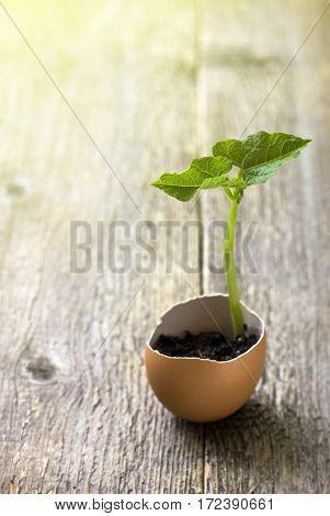 Easter decoration. Green sprout in egg-shell on the old wooden background