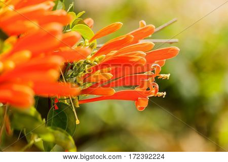 Orange trumpet Pyrostegia Venusta in nature background.
