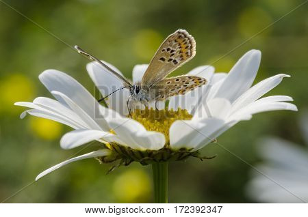 Orange butterfly sitting on a camomile flower