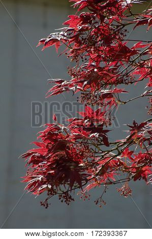 Leaves of fullmoon maple tree on grey background