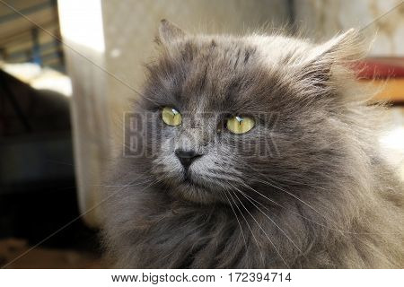 shaggy gray cat with a clear view