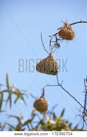 The nests of weaver birds in the Kruger region of South Africa. These unique structures are built in groups for protection.