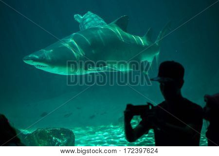 MADRID, SPAIN - JULY 6, 2016: Visitor makes a selfie while the sand tiger shark (Carcharias taurus), also known as the grey nurse shark swimming in Madrid Aquarium, Spain.