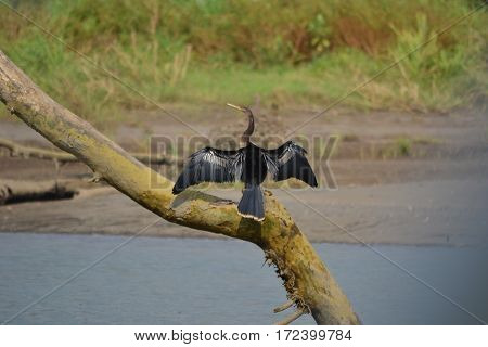An anhinga sits on a tree in a Costa Rican river, wings spread to dry off