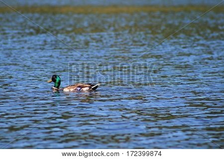 Duck swimming on a lake in the summer warmth
