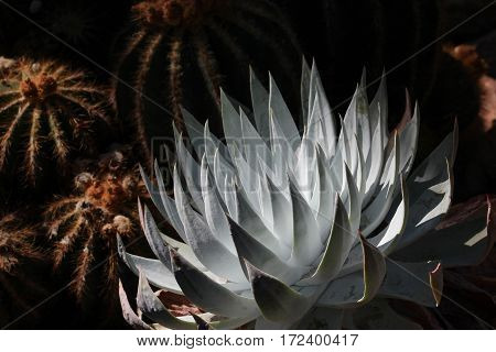 Beautiful chalky gray powdered succulent (Dudleya) sunlit against dark background with cactus.