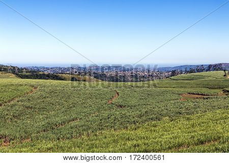 Sugar Cane Field Against Urban City Skyline